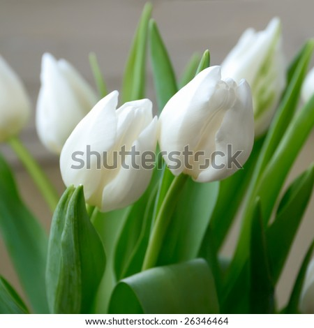 White tulips. Shallow DOF, focus on the tulips in front.