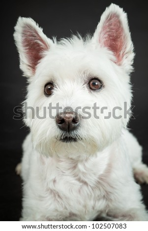 White Westhighland westie terrier isolated on black background