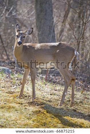whitetail doe in a forest that looks like its pregnant