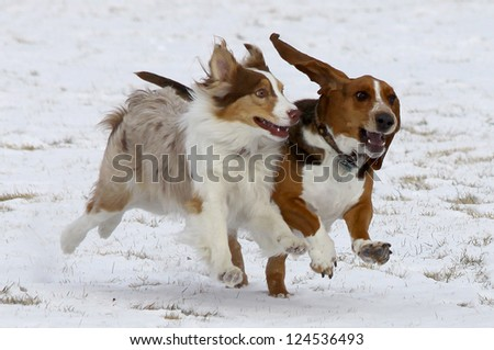 Who says dogs can't smile?  Two dogs, including a Basset Hound, have fun in the winter snow at a Colorado off-leash dog park.