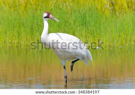 whooping crane or grus americana bird wading with one leg raised in marsh
