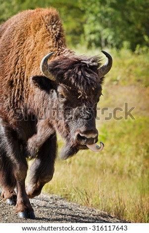 Wild Buffalo Running with Tongue Out