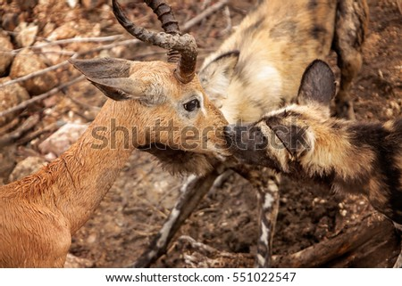 Wild dog attack on an Impala