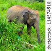 Wild elephant in Uda Walawe National Park, Sri-Lanka - stock photo