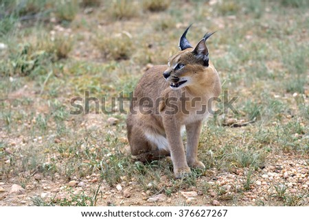 Wild female caracal in Namibian savannah