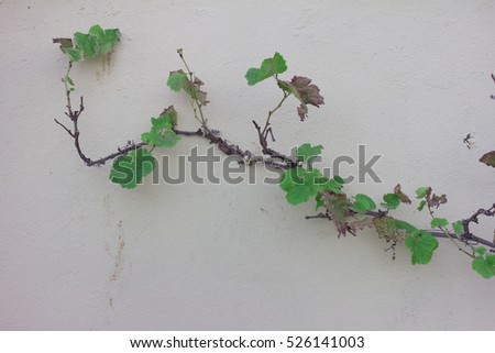 wild grape and tree on a white wall. Background