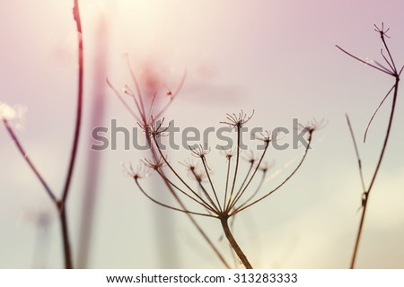 Wild grasses against the blue sky at sunset. Macro image with small depth of field. Creative vintage filter, retro effect
