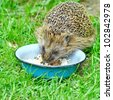 Wild Hedgehog eating from a dog bowl - stock photo