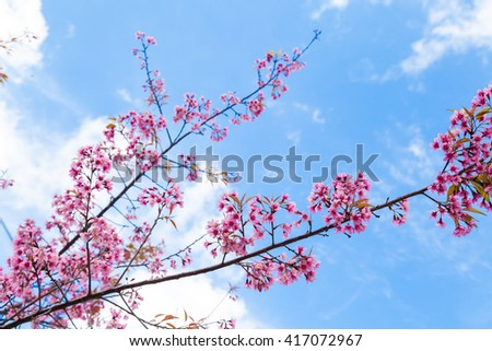 Wild Himalayan Cherry Blossom on Blue Sky Background