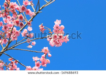 Wild Himalayan Cherry on blue sky
