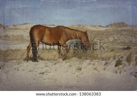 Wild horses in the Outer Banks in Corolla, North Carolina