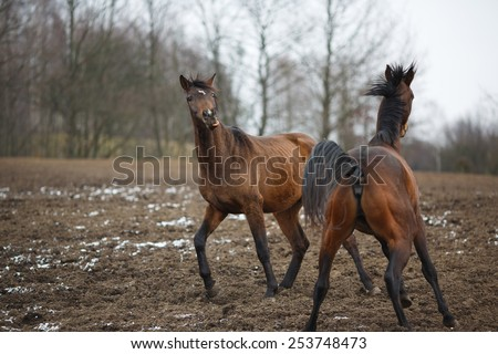 Wild horses on the meadow at winter time