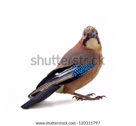 wild jay bird on a white background close up