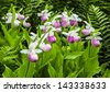 Wild lady slipper orchids in a bog of the cypripedioidea family. - stock photo