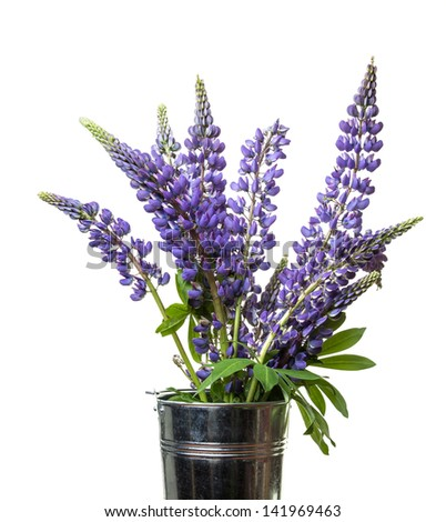 Wild lupine flowers in a French flower market pot