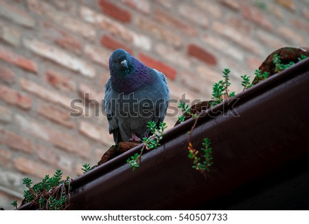 wild pigeon standing at the border of a roof in the city