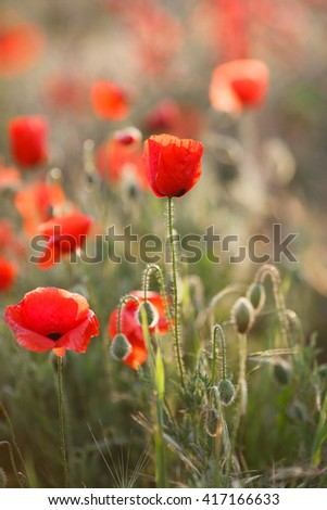 wild poppy flower. Close up in poppy field and sun. Red poppy flowers on the field.