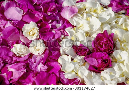 Wild rose petals pink and white