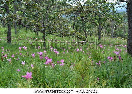 Wild siam tulips blooming in the jungle in Chaiya phoom, Major tourist attraction of the Chaiyaphum Provincial.