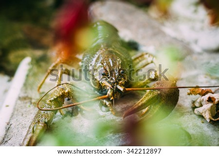 Wild Signal crayfish is sitting on a stone. Russian nature