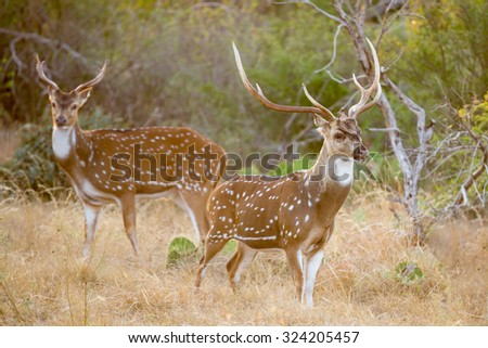 Wild South Texas Axis, Chital, or spotted Deer Buck.
