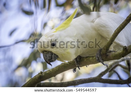 Wild Sulfur-crested Cockatoo in a tree photographed in Sale, Victoria, Australia, in March 2014