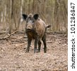 Wild wild Boar in-field - stock photo