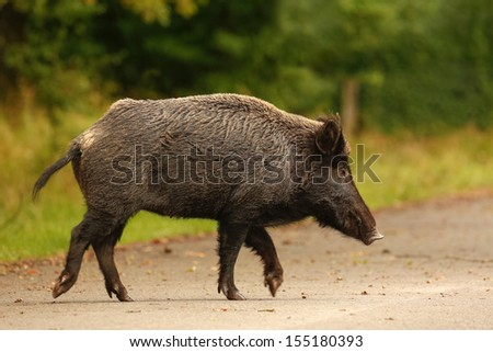 Wildboar crossing main road during the late summer acorn fall