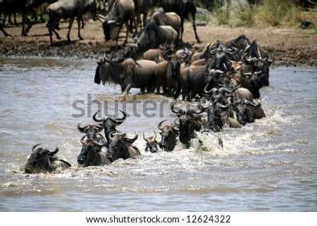 Wildebeest crossing the Mara River (Masai Mara; Kenya)