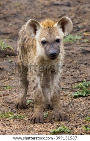 Wildlife of South Africa's Kruger National Park - juvenile spotted hyena