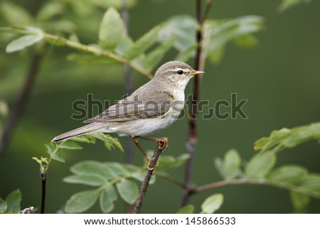 Willow warbler, Phylloscopus trochilus, single bird on branch, Worcestershire, June 2011