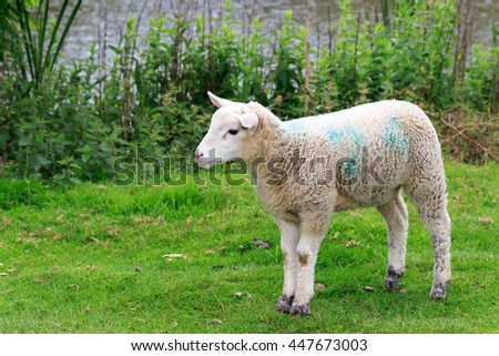 Wiltshire Lamb standing on grass by a Uk lake