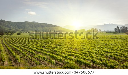 Wine vineyard field farm in Chile
