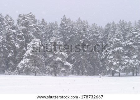 winter landscape snowfall in a blizzard in a pine forest