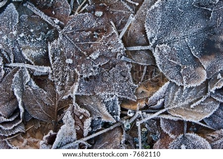 Winter leaves with frost