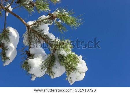 Winter.Pine branches coated with snow. Snow on pine branches. Sunny day.Outdoors.