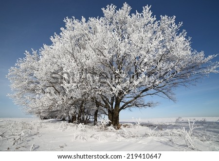 Winter trees in hoarfrost sunny day. Christmas winter background with snow-covered trees.