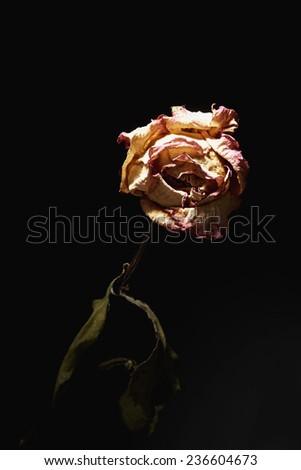 Withered roses on black background