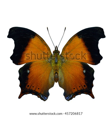 Wizard (Rhinopalpa polynice) the beautiful velvet brown  butterfly with dark wings flame a nymphalid butterfly found in India and South Asia, the only species in the genus Rhinopalpa, exotic creature