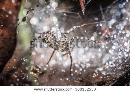 Wolf spider in his nest with a waterdrop on his head