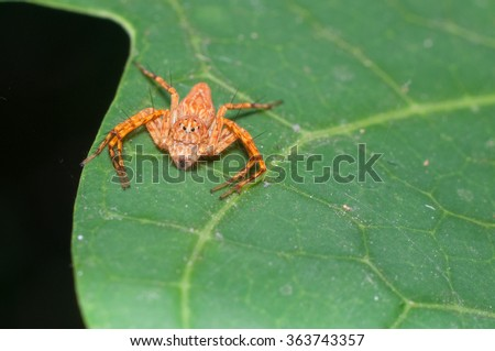 wolf spider on leaf