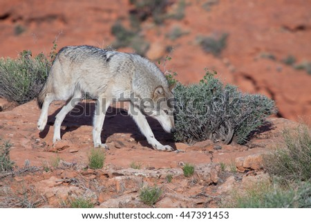 Side View Young Warthog Seen Grazing Stock Photo 100790626 ...