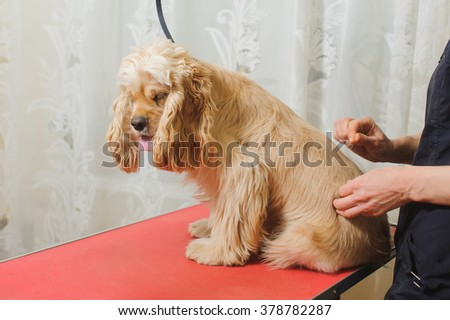 Woman groomer prepares young purebred Cocker Spaniel on grooming table for a a hairstyle in the room.