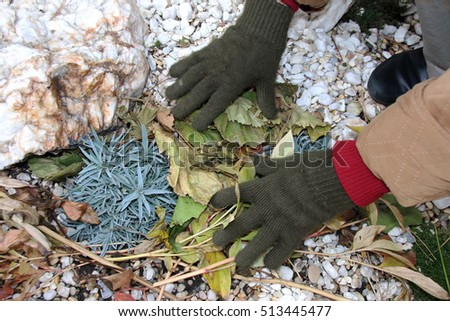 Woman hands covering cultivar carnations on alpine garden with cut peony leaves against winter frost in the autumn garden