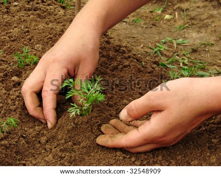 woman hands hoeing carrot sprouts on the vegetable bed