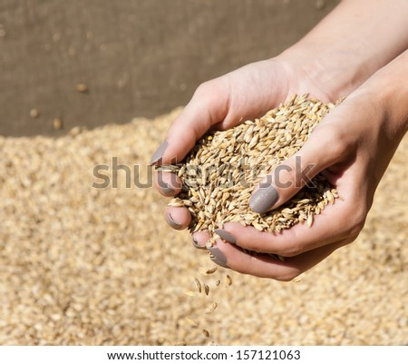 woman's hands holding grain after crops