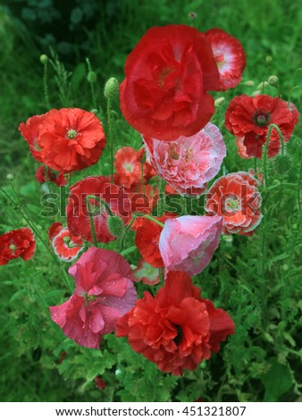 wonderful poppy flowers