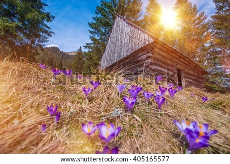 Wooden Cabin and Crocuses in the Scenic Chocholowska Valley. Spring Blooming Crocus in Polish Tatra Mountains.