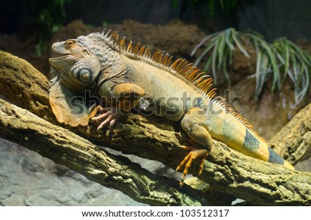 Woody Dragon. Green iguana on twisted tree branch.