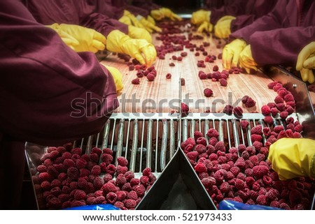Workers on the assembly line in sorting frozen raspberries